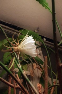 Night Blooming Cereus: First Discovery